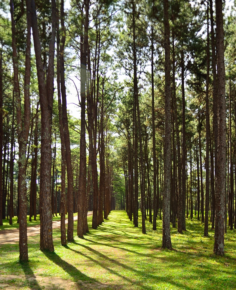 The Timber Industry – Pine Plantations Quietly Take Over South Carolina's Economy